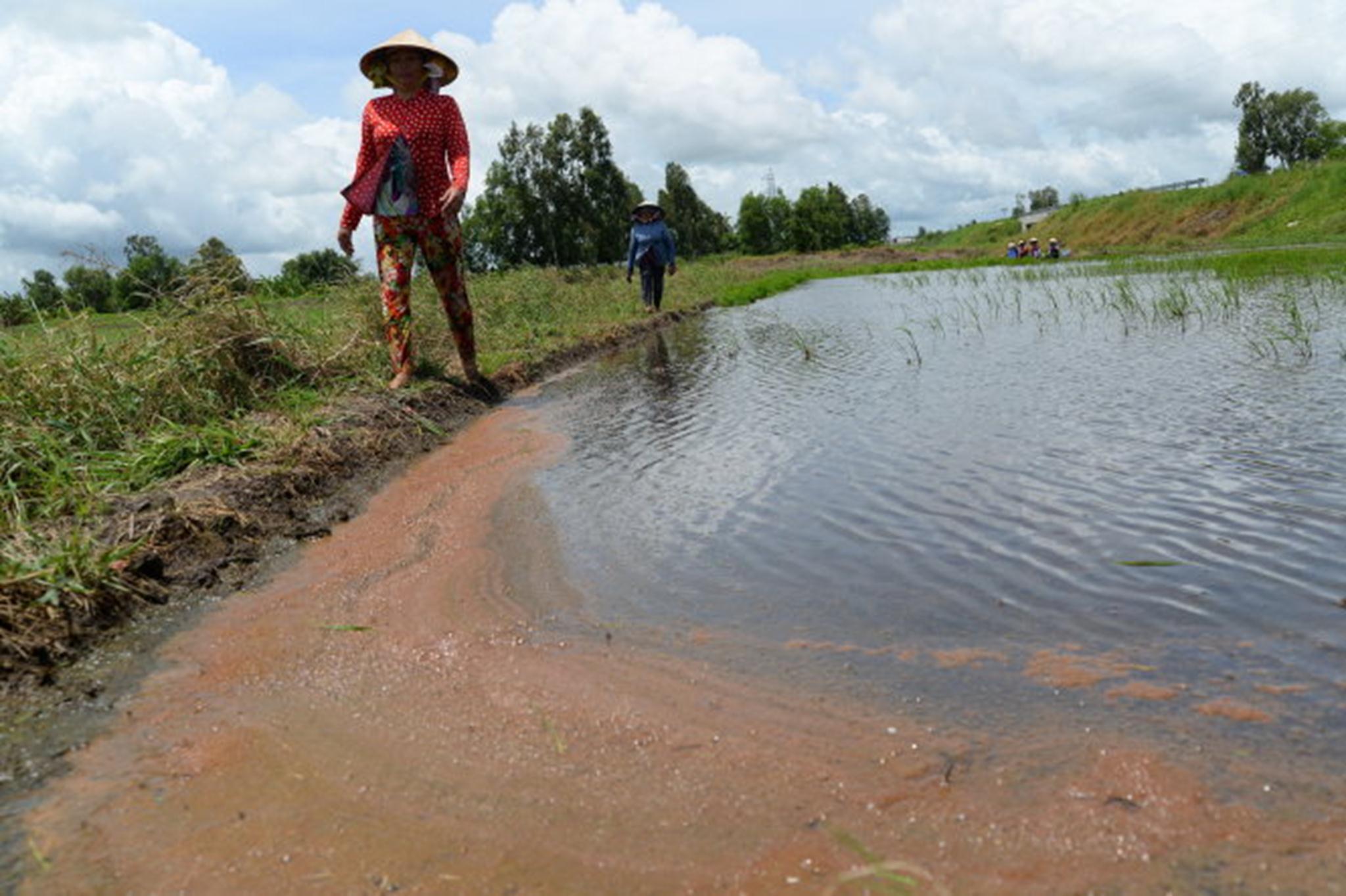 Nước nhiễm mặn cùng với nhiễm phèn kết lại từng mảng lớn trên mặt ruộng khiến lúa chết ở phường Vĩnh Thông, Rạch Giá, Kiên Giang - Ảnh: Hữu Khoa